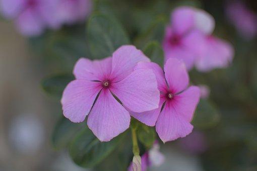 Violet, Flowers, Plant, Purple, Aroma, Petals, Spring