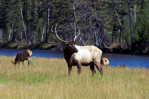 Bull Elk Next To Madison River, Elk, Wapiti
