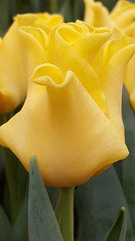 Yellow, Flower, Tulip