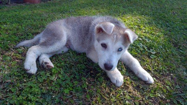 Siberian, Husky, Puppy, Dog, Animal, Domestic, Playful
