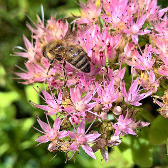 Stonecrop, Nature, Bee, Blossom, Bloom, Nectar