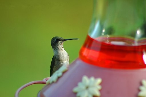 Hummingbird, Avian, Bird, Tiny, Small, Feeder, Wild