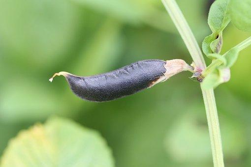 Pod, Bean, Beans Good, Light Green, Fruits, Black Bean