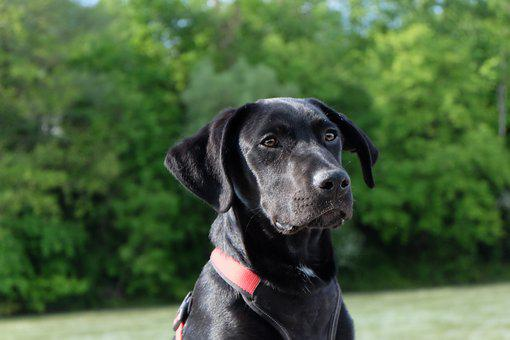 Dog, Black, Labrador, Young Dog, Puppy, Wanted, Profile
