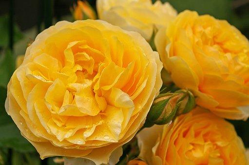 Rose, Scented Rose, Blossom, Bloom, Flower, Garden