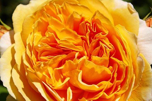Crown Princess Margaret, Rose, Scented Rose, Blossom