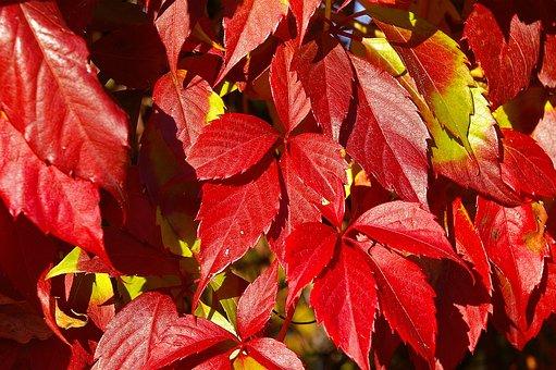Wine Partner, Climber, Autumn, Grape Crop, Leaves, Red