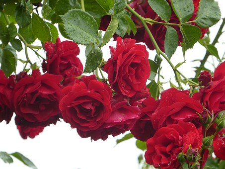 Climbing Roses, Red, Filled, Flower, Rose, Entwine