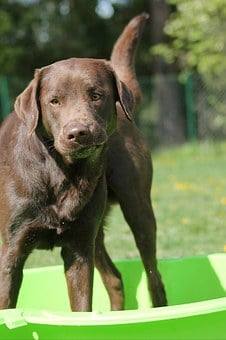 Labrador, Retriever, Chocolate, Brown, Dog, Pet, Animal