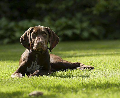 Puppy, German Pointer, Pet, Dog, Shorthaired, Domestic