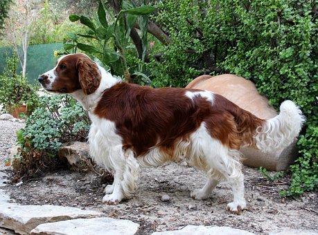 Welsh Springer Spaniel, Dog, Pet, Canine, Nature