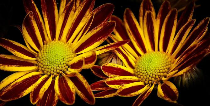 Chrysanthemum, Double, Twins, Yellow, Red, Blossom
