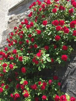 Roses, Entwine, Red, Bloom, Flowers, Home, Plant