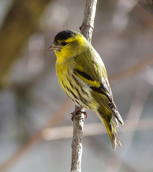 Bird, Passerine, Eurasian Siskin, Sprig
