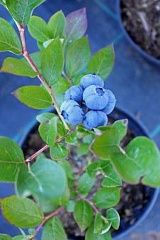 Blueberry, Culinary, Food, Sprigs, Kitchen