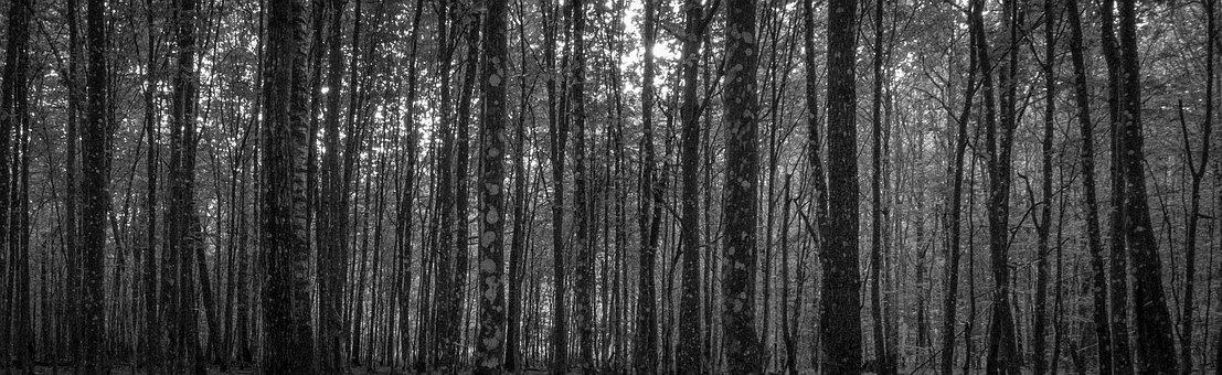Forest, Hornbeam, Tree, A Lot, Black And White