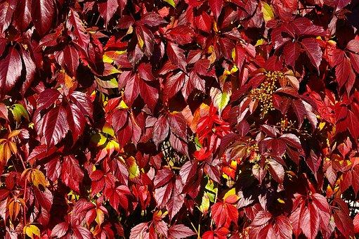 Wine Partner, Climber Plant, Autumn, Grape Crop, Leaves