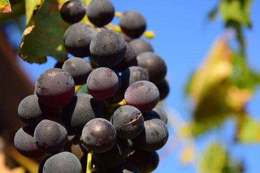 Grapes, Vine, Grapevine, Fruit, Blue Grapes