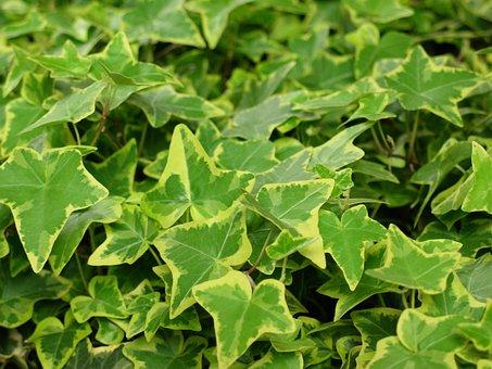 Ivy, Green Plant, Nature, Green, Climber Plant, Ranke