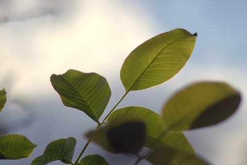 Walnut, Walnuts, Leaf, Foliage, Nature, Green, Plant