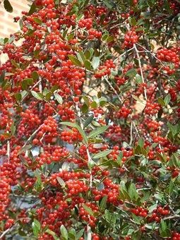 Weeping Holly, Weeping, Holly Berries, Berries, Red