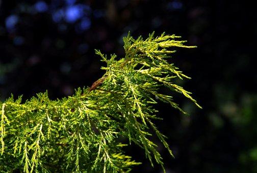 Iglak, Green, Plant, The Background, Pine, Coniferous