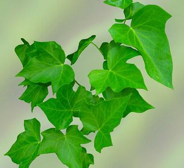 Ivy, Leaves, Green, Climber Plant, Hedera Helix, Plant