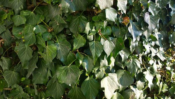 Texture, Ivy, Plant, Nature, Environment, Green, Leaf