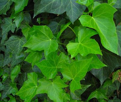 Ivy, Green, Leaves, Climber Plant, Hedera Helix, Wall