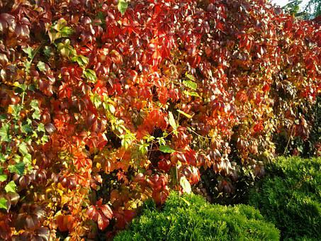 Leaves, Fall Foliage, Wine, Entwine, Ivy, Red