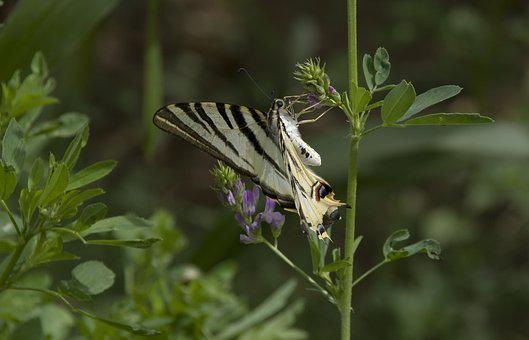 Butterfly, Scarce Swallowtail, Morocco