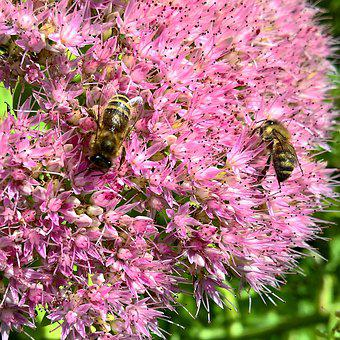Bees, Nature, Flowers, Stonecrop, Nectar