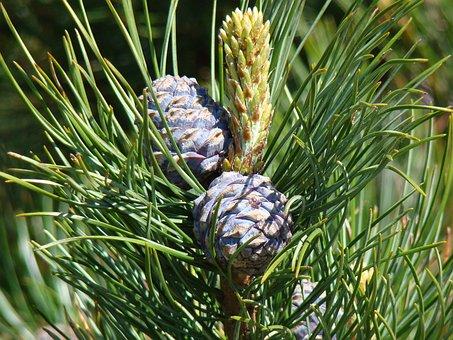Cones, Spruce, Sprig, Nature, Needles, Spruce Cones