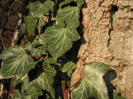 Ivy, Climber, Old Poplar Bark, Common Ivy, Entwine