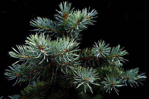 Spruce, Christmas Tree, Pine, Iglak, Coniferous, Tree