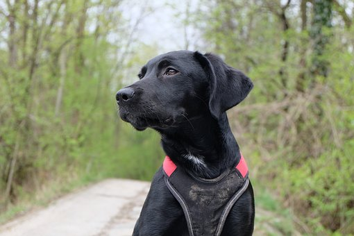 Dog, Labrador, Black, View, Puppy, Young Dog, Pride