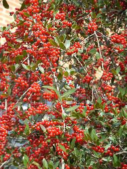 Weeping Holly, Weeping, Holly Berries, Berries, Red