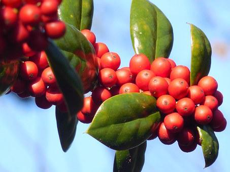 Holly, Berries, Winter, Holiday, Berry, Season