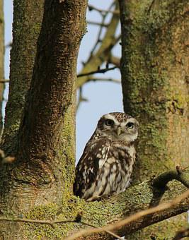Owl, Tree, Bird, Animal, Nature, Sitting, Screech Owl
