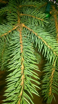 Spruce, Tree, Winter, Needles, Nature, Needle, Sprig