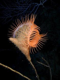 Venus Flytrap Sea Anemone, Sea Anemone, Actiniaria