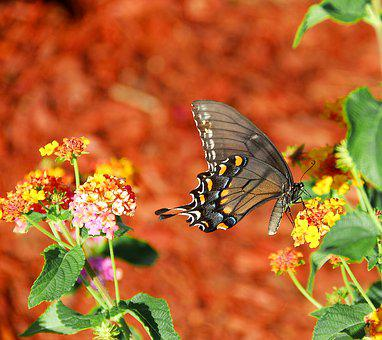 Vibrant Colored, Swallowtail Butterfly, Insect