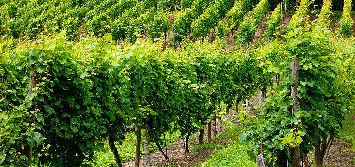 Vineyard, Vines, Winegrowing, Vine, Slope, Wine, Grapes