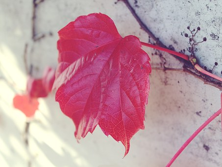 Leaf, Red, Wall, Autumn, Red Leaf, Fall Foliage, Nature