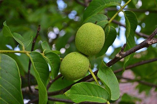 Nuts, Walnut, Tree, Fruit, Seeds, Foliage, Eating