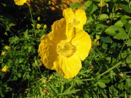Meconopsis Cambrica, Welsh Poppy, Yellow, Forest Poppy