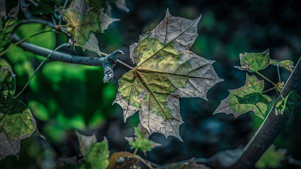 Leaf, Maple, Autumn, Nature, Leaves, Maple Leaf, Color