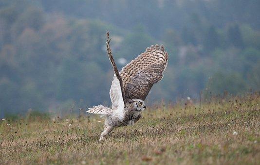Bird, Animal, Owl, Sabertooth Tiger, Wings, Beak
