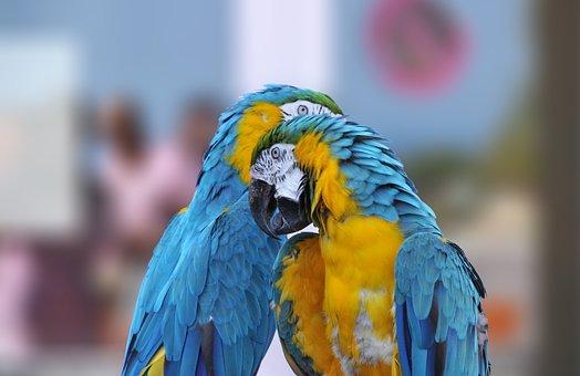 Ara Ararauna, Kiss, Parrot, Ara, Bird, Beak, Color
