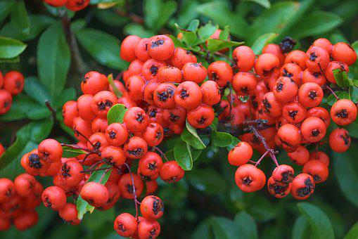 Firethorn, Berries, Red, Pyracantha, Bush, Fruits